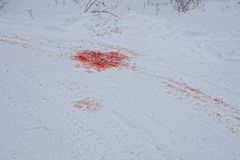 Great spot of red blood on the road under white snow. Puddles of red blood on the road under the snow Stock Photos