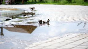 In puddles sparrows swim, splash. summer hot day, at the fountain. In puddles sparrows swim, splash. summer hot day, at the fountain stock footage