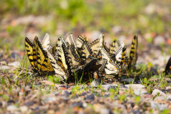 Puddling Butterflies Stock Images