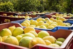 Pudełka świeżo ukradzione cytryny od Sicily Fotografia Stock