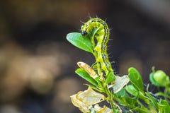 Pudełkowata drzewna ćma gąsienica, Cydalima perspectalis, zbliżenie zdjęcia royalty free