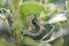 Pudełkowata drzewna ćma larwa Fotografia Stock