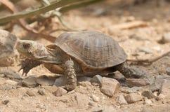 pudełkowaty żółw Zdjęcia Royalty Free