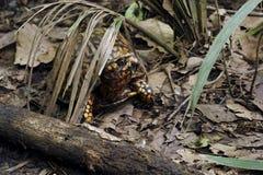 Pudełkowaty żółw w Angus Gholson natury parku, Floryda zdjęcie royalty free