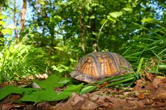 pudełkowaty Carolina terrapene żółw Obraz Royalty Free