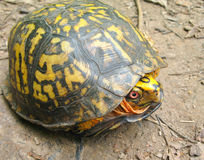 pudełkowaty wschodni żółw Zdjęcia Stock