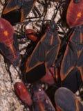 pudełkowata pluskwy grona starsza osoba Obraz Stock
