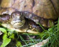 pudełkowaty tortoise Obraz Royalty Free