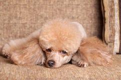 Pudel, der auf Sofa stillsteht Stockfotografie