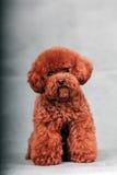 Pudel-Hund Stockfotos