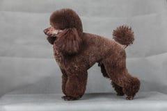 Pudel-Hund Stockfoto