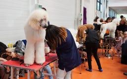 Pudel i właściciele przy psią wystawą Fotografia Stock