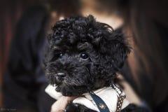 pudel mały pies ogon futerko łapy pet pets psy Pies zdjęcie stock