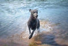 Pudel som hoppar från vatten Royaltyfria Bilder