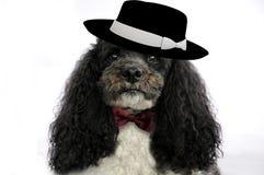 Pudel z kapeluszem i łęku krawatem obraz stock