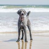 Pudelanseende på stranden Arkivfoton