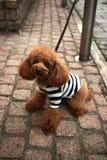 Pudelhund Royaltyfri Bild