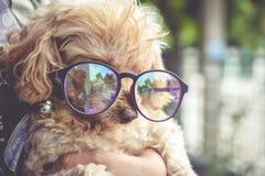 Pudelhund Royaltyfri Fotografi