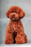 Pudelhund royaltyfri foto