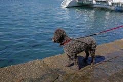 Pudelhund, der einen Fisch im Wasser betrachtet lizenzfreie stockfotografie