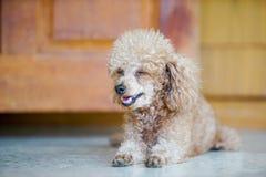 Pudelhund gelegt auf den Boden Stockbilder