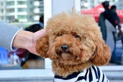 Pudelhund med folkvänskapsmatch Arkivfoto