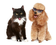 Pudelhund und schwarze Katze auf einem weißen Hintergrund Stockbilder
