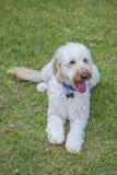 Pudelhund, Welpe, Pudelhündchenspiel draußen lizenzfreie stockbilder
