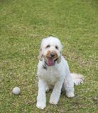 Pudelhund, Welpe, Pudelhündchenspiel ein Spielzeugball lizenzfreie stockfotografie