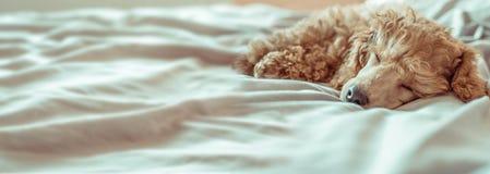 Pudelhunden är ligga och sova i säng royaltyfria bilder