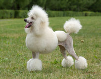 Pudelhundeportrait der Königgröße weißes Stockbilder