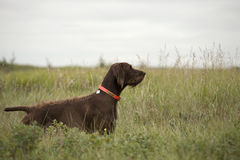 Pudelpointer pointing in field Royalty Free Stock Photography
