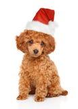 Pudelvalp i jultomtenhatt arkivfoton
