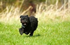 Pudelwelpe, der glücklich läuft. lizenzfreies stockfoto
