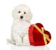 Pudelwelpe mit Valentinsgrußrotherzen Lizenzfreies Stockfoto