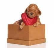 Pudelwelpe schläft in einem Kasten mit einem roten Inneren Lizenzfreie Stockbilder