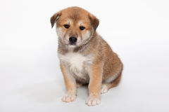 Pudgy puppy Stock Photo