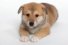 Pudgy puppy Royalty Free Stock Photo