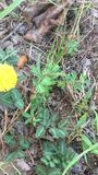 Pudica da mimosa ou planta sensível que respondem ao toque filme