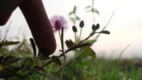 Pudica Linn de la mimosa conocido como la planta sensible, la planta soñolienta, Dormilones, tacto-mí-no o planta tímida almacen de video