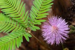 Pudica Mimosa που παρουσιάζει το κεφάλι και φύλλα λουλουδιών στοκ εικόνα