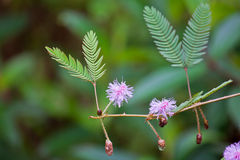 Pudica Mimosa Στοκ Εικόνες