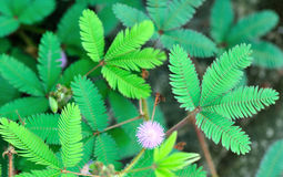 Pudica mimosa wild flower. Wild flower mimosa pudica Stock Photography