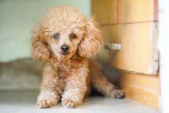 Pudla pies kłaść na podłoga Zdjęcia Stock