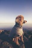 Pudla pies patrzeje daleko od przy zmierzchem przy morzem Obrazy Royalty Free