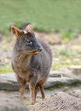 Pudu Foto de Stock Royalty Free