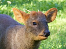 Pudu Royalty Free Stock Photos