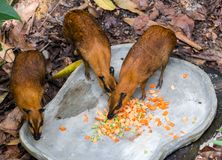 Pudu-Rotwild, die einige Karotten essen lizenzfreie stockfotos