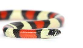 Pueblan milk snake Stock Image