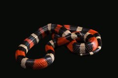 Pueblan milk snake Royalty Free Stock Images